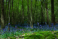 A carpet of bluebells in an English beech wood