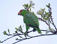 Red-crowned parrot eating buds in tree