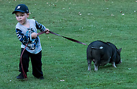 "Teaching a piglet to heal is a little more challenging than it may appear, especially for three-year-old Hudson Deyle, of Sarnia. Petunia, a six-month-old pig owned by Amanda Deyle and her family has a mind of her own while enjoying a walk at Canatara Park, recently. ""I love her, she's my best friend, says Amanda ""she's very cuddly and cute."""