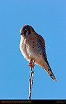 American Kestrel Male, Bosque del Apache Wildlife Refuge, New Mexico