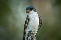 Tree Swallow with food for its young, Matanuska Valley Alaska.