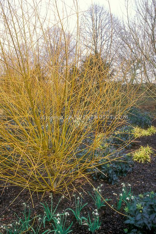 Winter garden of Salix alba 'Britzensis' with Galanthus, Mahonia