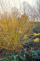 Winter garden of Salix alba 'Britzensis' with Galanthus, Mahonia