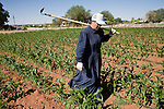 """June 16, 2008 -- COLORADO CITY, AZ: A member of the Jessop family walks through the community corn plot in Colorado City, AZ. The Jessops are a polygamous family and members of the FLDS. Colorado City and neighboring town of Hildale, UT, are home to the Fundamentalist Church of Jesus Christ of Latter Day Saints (FLDS) which split from the mainstream Church of Jesus Christ of Latter Day Saints (Mormons) after the Mormons banned plural marriage (polygamy) in 1890 so that Utah could gain statehood into the United States. The FLDS Prophet (leader), Warren Jeffs, has been convicted in Utah of """"rape as an accomplice"""" for arranging the marriage of teenage girl to her cousin and is currently on trial for similar, those less serious, charges in Arizona. After Texas child protection authorities raided the Yearning for Zion Ranch, (the FLDS compound in Eldorado, TX) many members of the FLDS community in Colorado City/Hildale fear either Arizona or Utah authorities could raid their homes in the same way. Older members of the community still remember the Short Creek Raid of 1953 when Arizona authorities using National Guard troops, raided the community, arresting the men and placing women and children in """"protective"""" custody. After two years in foster care, the women and children returned to their homes. After the raid, the FLDS Church eliminated any connection to the """"Short Creek raid"""" by renaming their town Colorado City in Arizona and Hildale in Utah. The Jessops are a polygamous family and members of the FLDS.      Photo by Jack Kurtz"""