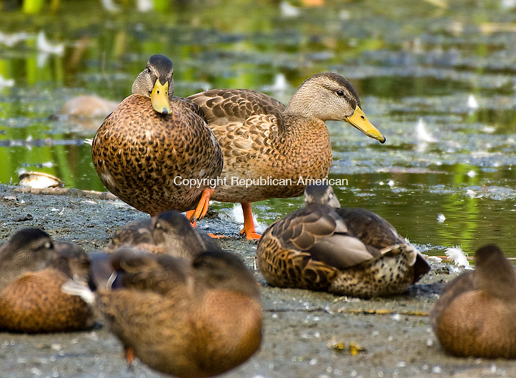 WATERBURY, CT-0713017JS03-- A group of ducks relax near the waters edge at the pond at Fulton Park in Waterbury on Sunday. <br /> Jim Shannon Republican-American