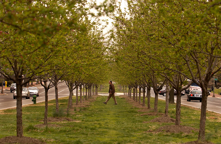 A man crosses the median of Pennsylvania Ave., SE, under a canopy of Cherry trees with green buds not quite ready to blossom.