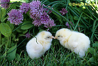 DG13-031z  Chicken - newly hatched Leghorns, fluffy
