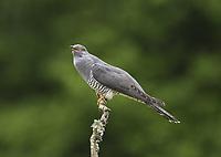 Cuckoo - Cuculus canorus - male