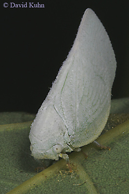 0829-06yy  Flatid planthoppers - Anormenis chloris - © David Kuhn/Dwight Kuhn Photography