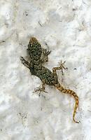 Ägäischer Nacktfinger, Gecko, Cyrtopodion kotschyi, Mediodactylus kotschyi, Cyrtodactylus kotschyi, Kotschy's gecko