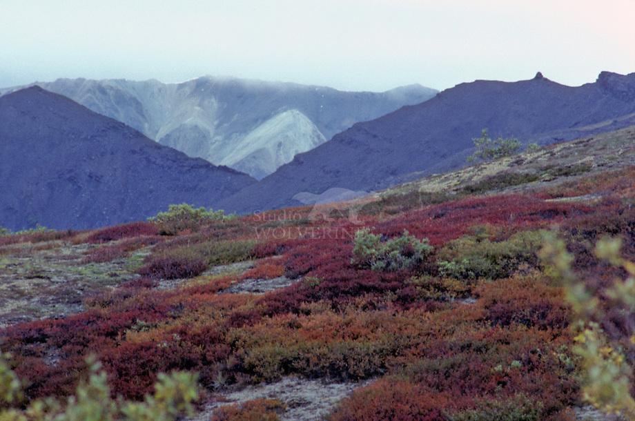 Toendra vegetatie in Denali N.P. , Alaska