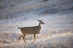 Young Whitetail buck in Montana