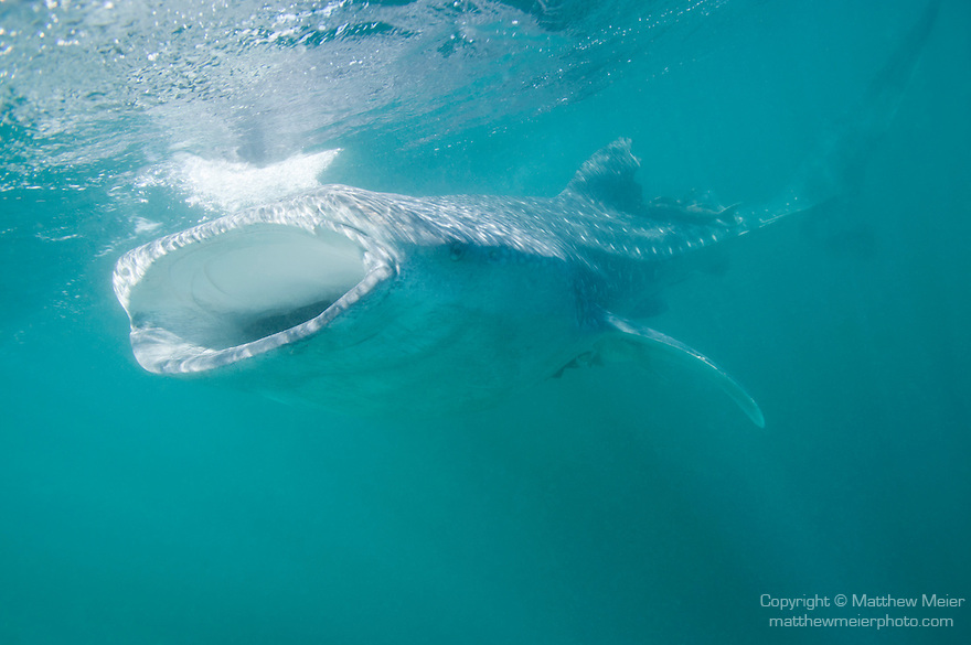 Bahia de los Angeles, Sea of Cortez, Baja California, Mexico; a small, juvenile Whale Shark (Rhincodon typus) with it's mouth open, feeding just below the water's surface