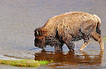 Bison Crossing Madison River, Yellowstone National Park, Wyoming
