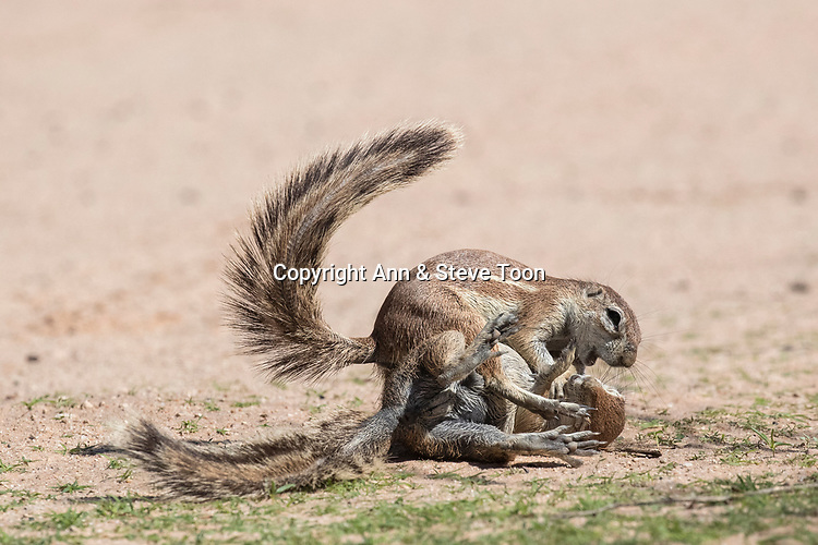 Ground squirrels (Xerus inauris) fighting, Kgalagadi Transfrontier Park, Northern Cape, South Africa, January 2017
