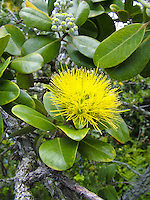 Rare yellow ohia lehua blossom (Metrosideros polymorpha). The ohia tree is said to be the favorite of Big Island volcano goddess Pele.
