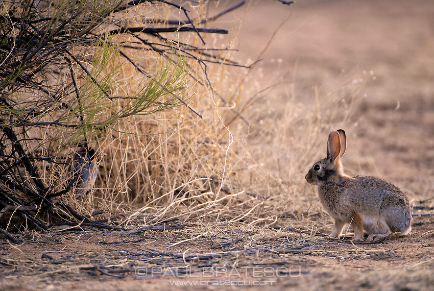 Rabbit, Arizona