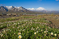 Mountain aven, spring blooming flowers and Denali, North America's highest peak, viewed from Eielson Visitor Center, Denali National Park, Alaska