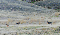 White-tailed deer (Odocoileus virginianus) buck with two does.  Western U.S., Sept.