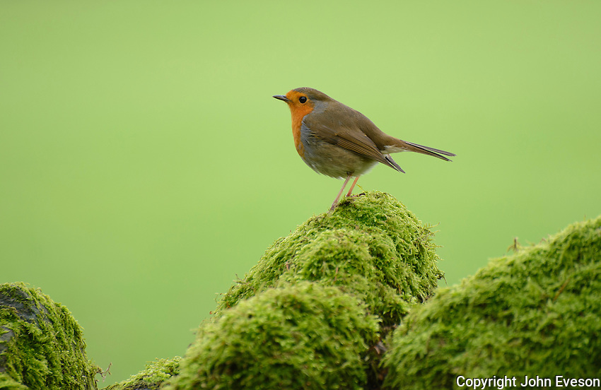 European robin (Erithacus rubecula) on a mossy stone wall, Langden, Dunsop Bridge, Lancashire.