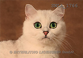 Carl, ANIMALS, photos, white cat(SWLA1766,#A#) Katzen, gatos
