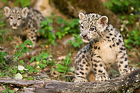Snow Leopard kitten standing on a leg with its sibling watching from behind - CA