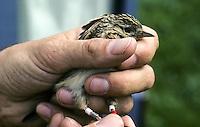 Feldlerche wird beringt, Ornithologe beringt einen gefangenen Altvogel, Farbberingung zur individuellen Markierung, Feld-Lerche, Lerche, Alauda arvensis, skylark, lark, Ornithologie, Forschung, Vogelforschung