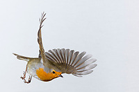 Rotkehlchen, fliegend, im Flug, Flugbild, Erithacus rubecula, robin, European robin, robin redbreast, flight, flying, Le Rouge-gorge familier