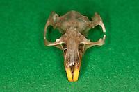 Untersuchung von einem Gewölle einer Eule, Schleiereule, Speiballen, Schädel mit langen Nagezähnen, Nagezahn als unverdauliche Nahrungsreste, die unverdauten Knochen als Nahrungsreste wurden aus einem Geölle heraus sortiert, Schleiereule hat eine Maus gefressen