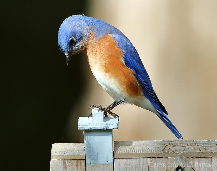 Male eastern bluebird at bird house