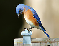 Male eastern bluebird at bird house