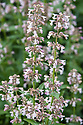Pale pink Nepeta, late June.