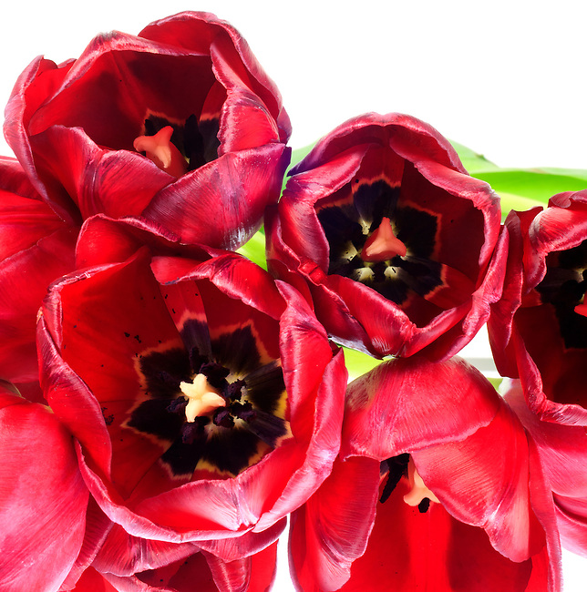 Close up of a bouquet of red tulips on a white background