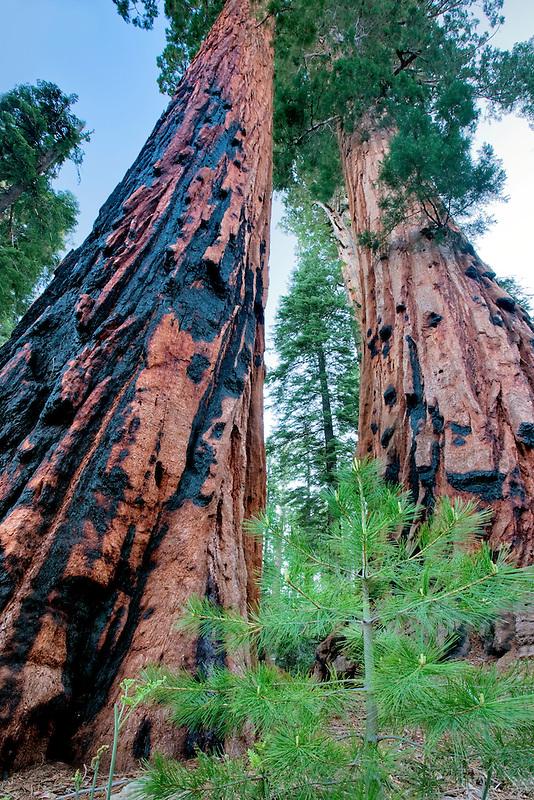 Small fir tree next to Sequoia Redwood tree. Sequoia National Park, California