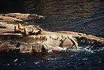 Steller sea lions, Alaska