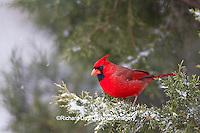 01530-20808 Northern Cardinal (Cardinalis cardinalis) male in Keteleeri Juniper tree (Juniperus chinensis 'Keteleeri')  in winter, Marion Co., IL