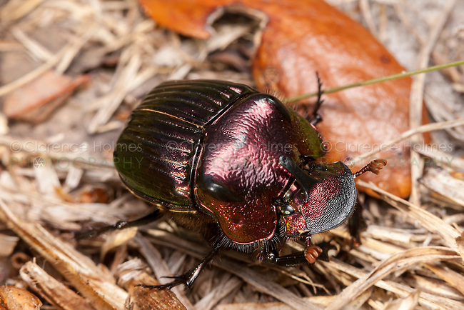 Male Rainbow Scarab beetle (Phanaeus igneus)