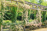 France, Loiret (45), Chilleurs-aux-Bois, château de Chamerolles et jardins de style renaissance, longue et haute pergola couverte de rosiers grimpants, rosiers lianes, glycines, vignes, ici avec rosier 'La Fraîcheur'