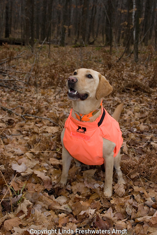 Yellow Labrador retriever (AKC) sitting and waiting for a command.  Fall.  Winter, WI.