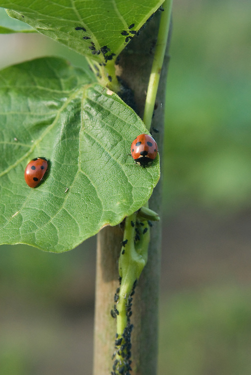Ladybirds on aphid-infested runner bean plants, early June. It is thought that each ladybird eats up to 5,000 aphids during the course of its one-year lifetime.
