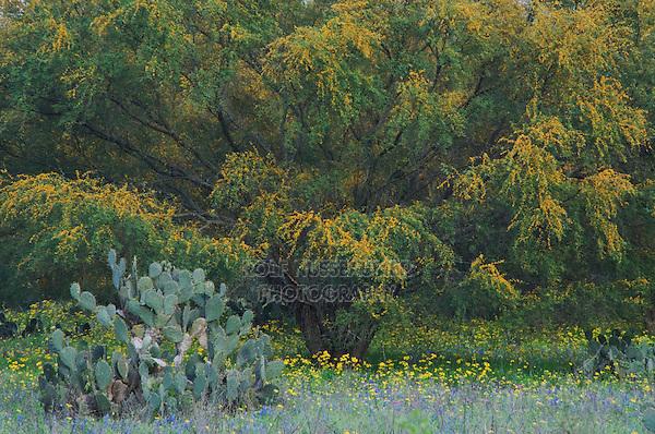 Wildflower field with Texas Prickly Pear Cactus (Opuntia lindheimeri) Huisache tree (Acacia farnesiana) Squaw Weed (Senecio ampullaceus)Texas Bluebonnet (Lupinus texensis),Three Rivers, Live Oak County, Texas, USA, March 2007