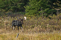 Bull Moose walking through a field during the fall