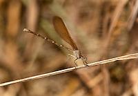 338470005 a wild female  golden-winged dancer argia rhoadsi perches by a small stream near san benito lower rio grande valley texas united states
