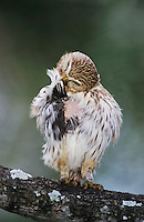 Ferruginous Pygmy-Owl, Glaucidium brasilianum, adult preening, Willacy County, Rio Grande Valley, Texas, USA, June 2004