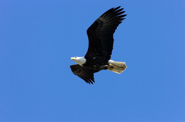 An American bald eagle flies through blue sky above Kenai, Alaska.