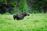 Moose in Rockies National Park, Colorado.