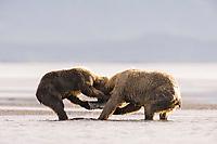 Racer wrestles his mother, Paula, for a salmon. Kodiak grizzly bear (Ursus arctos middendorffi), Hallo Bay