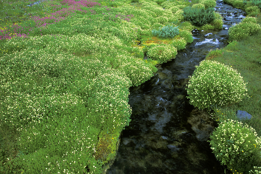 Wildflower lined stream, Paradise, Mount Rainier National Park, Washington