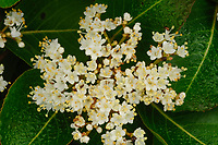 Closeup of the flowers of a  Nannyberry, Viburnum Lentago, growing In the Adirondack Mountains of New York State