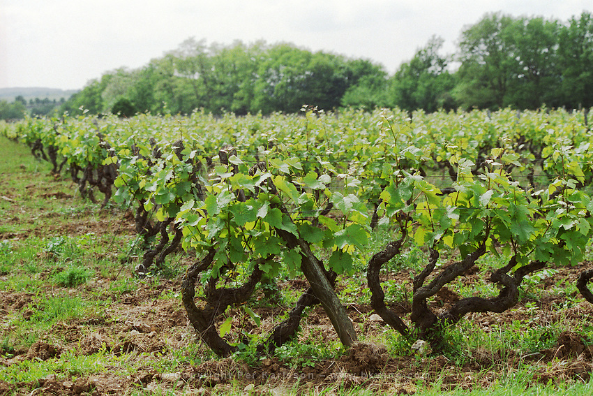 Vines in Vouvray style pruning in the vineyard. Chenin Blanc. Domaine Clos de l'Epinay, Vouvray, Loire, France